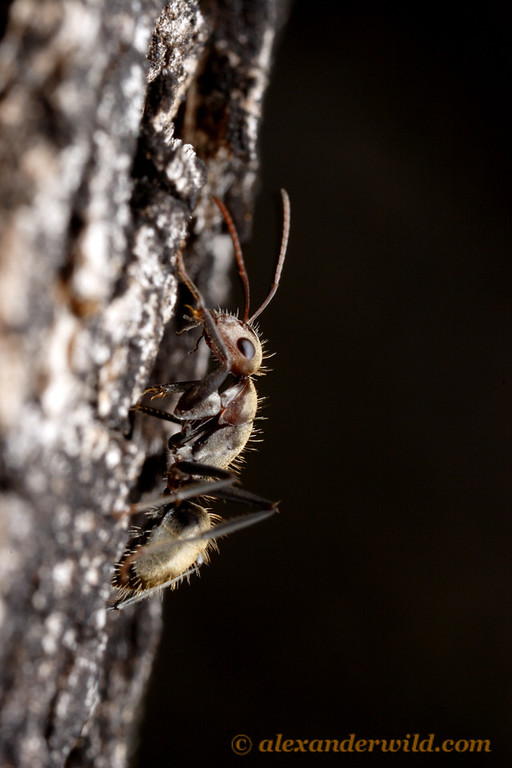 Camponotus rosariensis worker, foraging on a tree trunk  Amaicha del Valle, Tucumán, Argentina