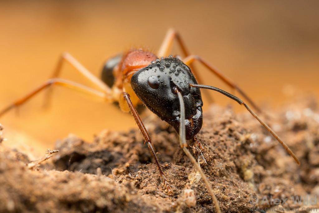 Camponotus nigriceps