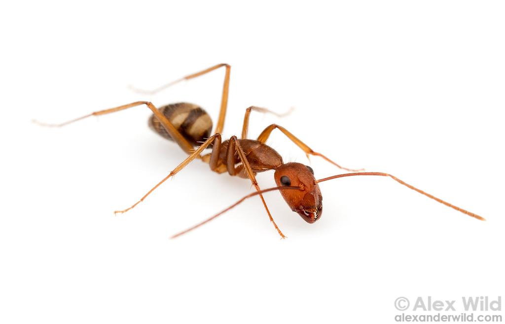 Camponotus cingulatus  Morretes, Paraná, Brazil