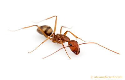 Camponotus cingulatus