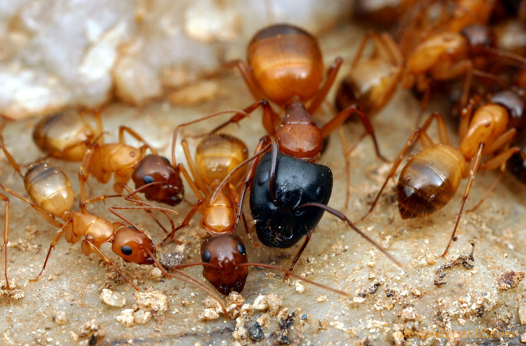 Camponotus sansabeanus - worker ants vary in size, color, and body proportion.  Mojave National Preserve, California, USA