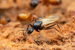 Camponotus sansabeanus