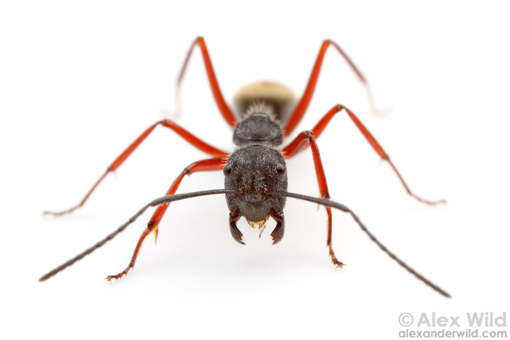Portrait of Camponotus suffusus, a common and rather variable species in southeastern Australia.  Diamond Creek, Victoria, Australia