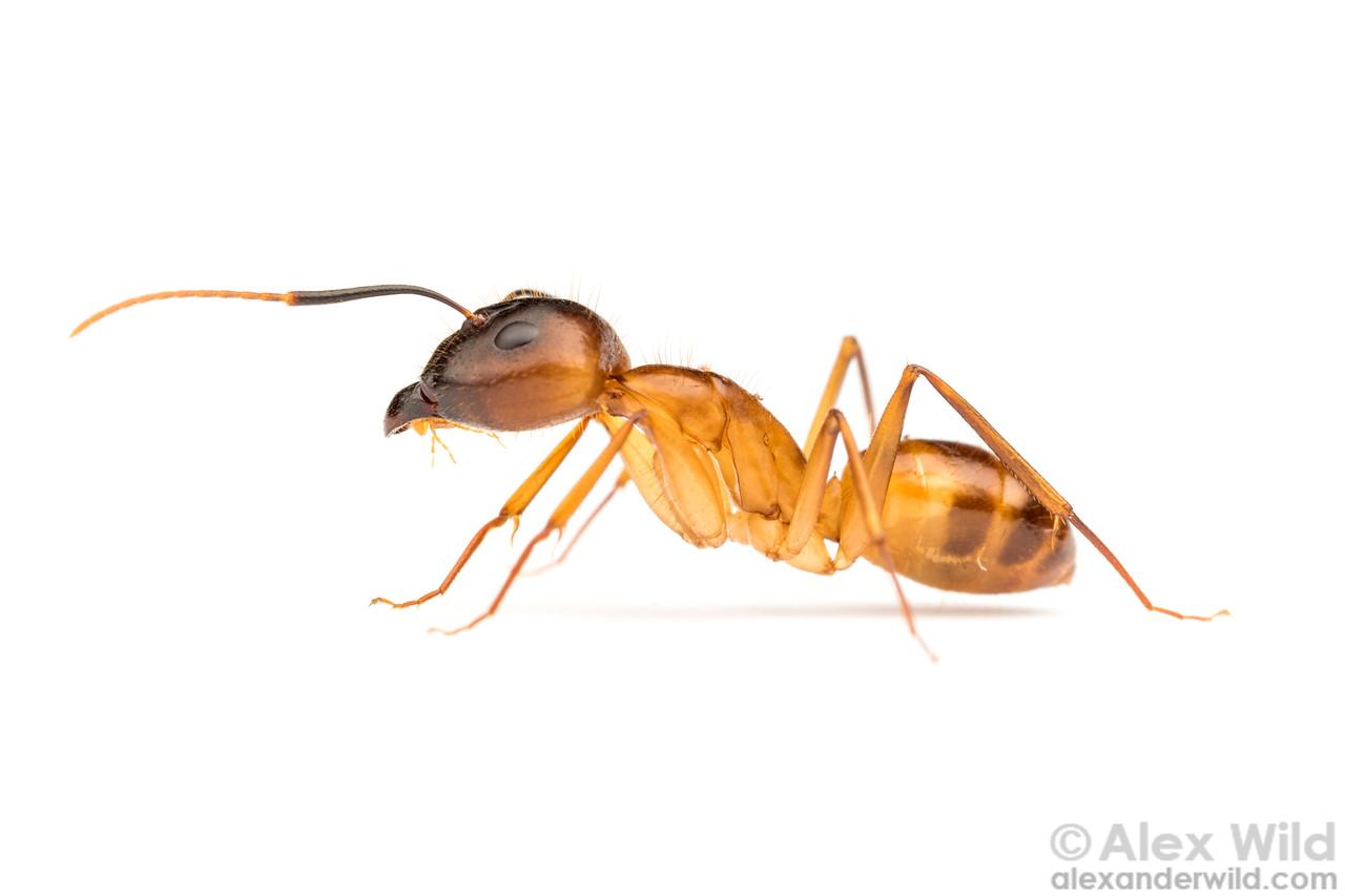 Camponotus festinatus