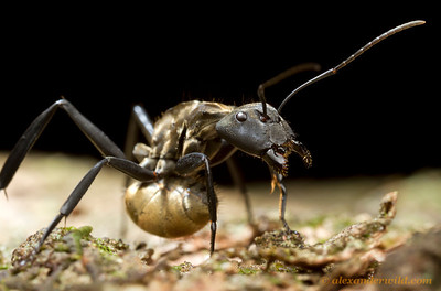 When threatened, a worker Camponotus sericeiventris tucks her gaster under her body, aiming the acid-ejecting acidopore forward at the perceived threat.  Carrancas, Minas Gerais, Brazil