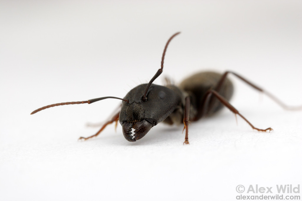 Camponotus termitarius is an emerging pest of pastures and old agricultural fields in northern Argentina.  Perdices, Entre Rios, Argentina