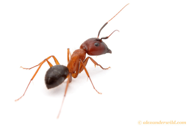 A major worker of the Florida Carpenter Ant Camponotus floridanus, one of the first ant species slated to have its genome sequenced.  Archbold Biological Station, Florida, USA
