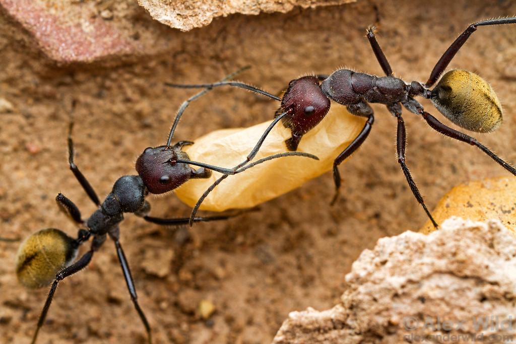 Camponotus suffusus carrying a pupae through their colony's underground galleries.  Yandoit, Victoria, Australia
