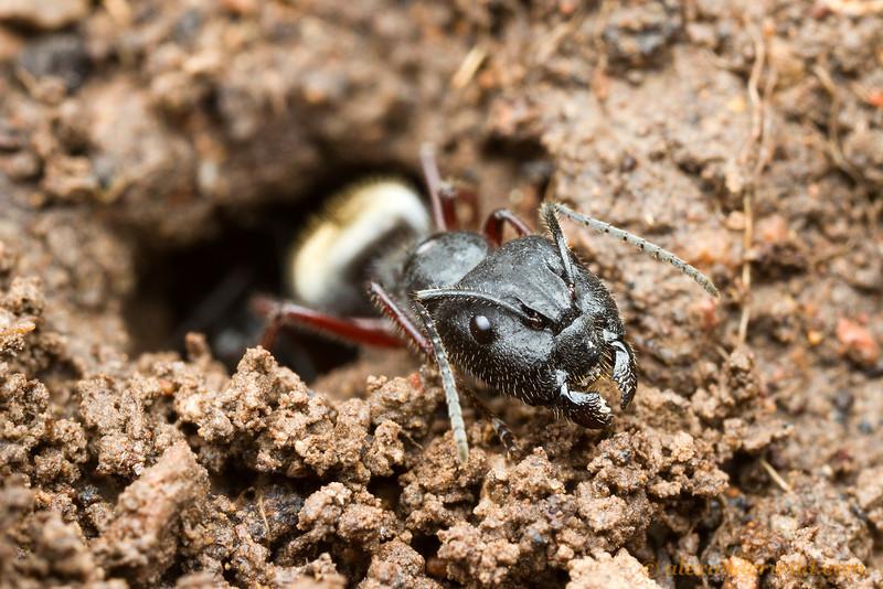 Camponotus suffusus
