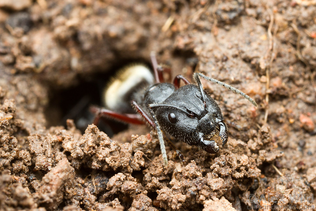 A major worker of Camponotus suffusus guards the nest entrance. Although many people think of Camponotus as the wood-inhabiting carpenter ants, many species nest in soil.  Diamond Creek, Victoria, Australia