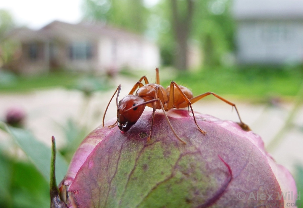 Peonies produce droplets of nectar on their developing flower buds, attracting ants that may help protect the flower from herbivores. Here, Camponotus castaneus drinks from a peony in an urban garden.  Urbana, Illinois, USA