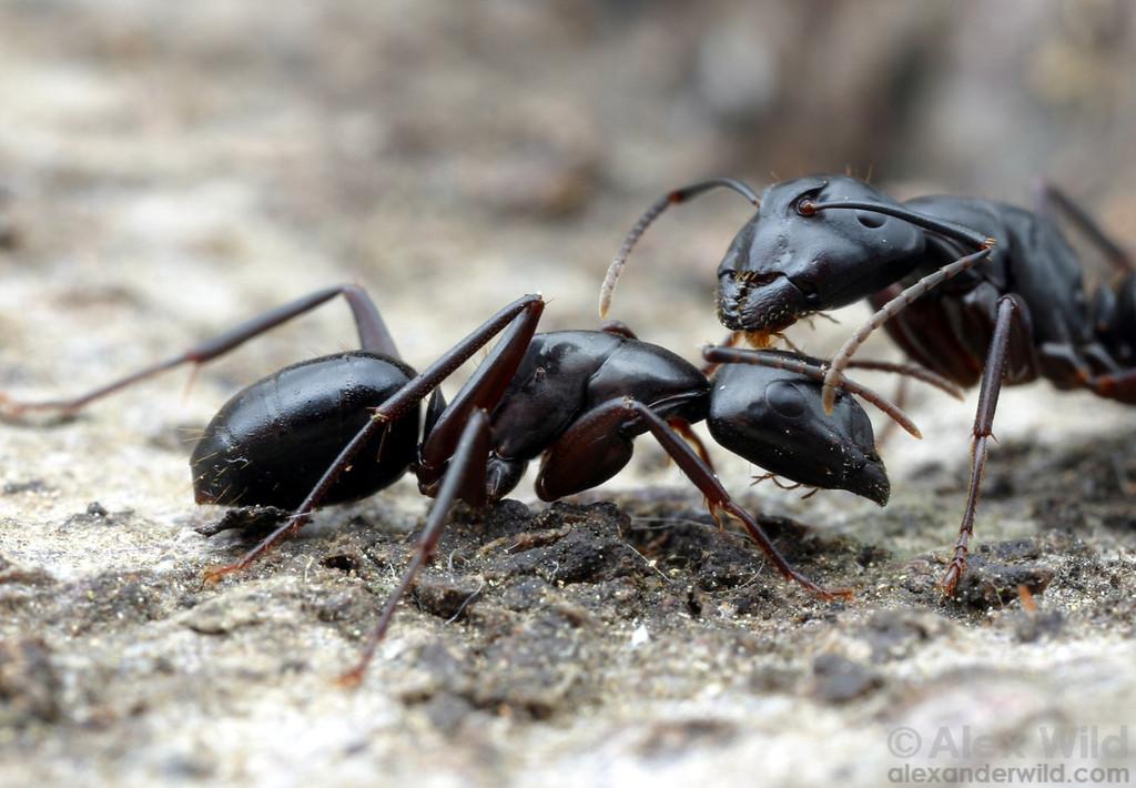 Camponotus quercicola