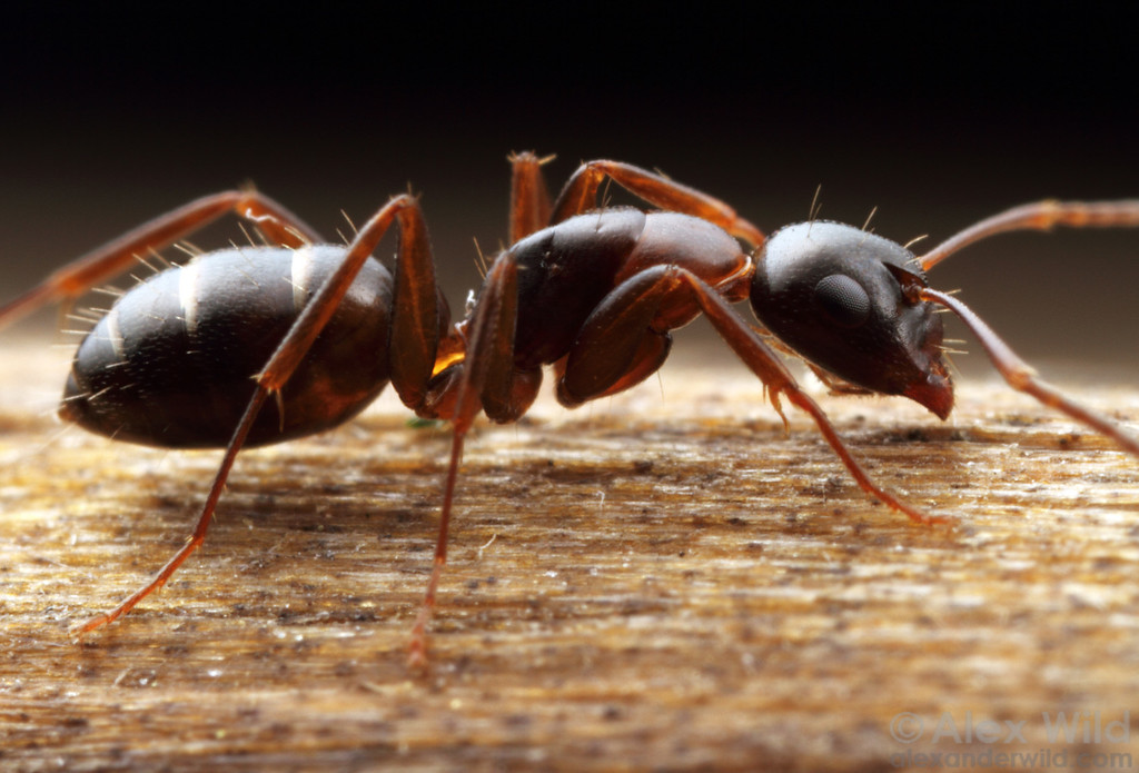 Camponotus nearcticus, worker of a small carpenter ant.  Urbana, Illinois, USA