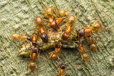 Camponotus atriceps