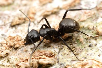Camponotus arminius