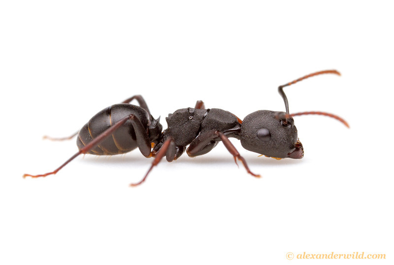 Camponotus (Phasmomyrmex) sp.