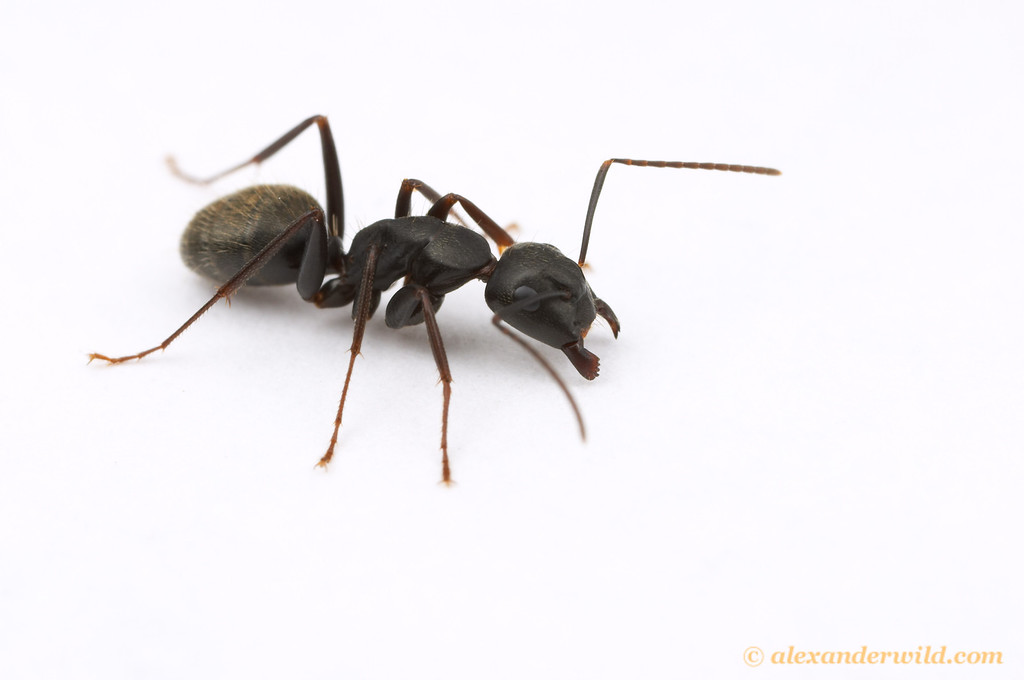 Camponotus pennsylvanicus, the eastern black carpenter ant  South Bristol, New York, USA