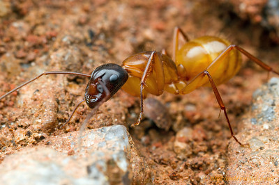 Camponotus americanus is a distinctly bicolored ant found in eastern North America.  Athens, Georgia, USA
