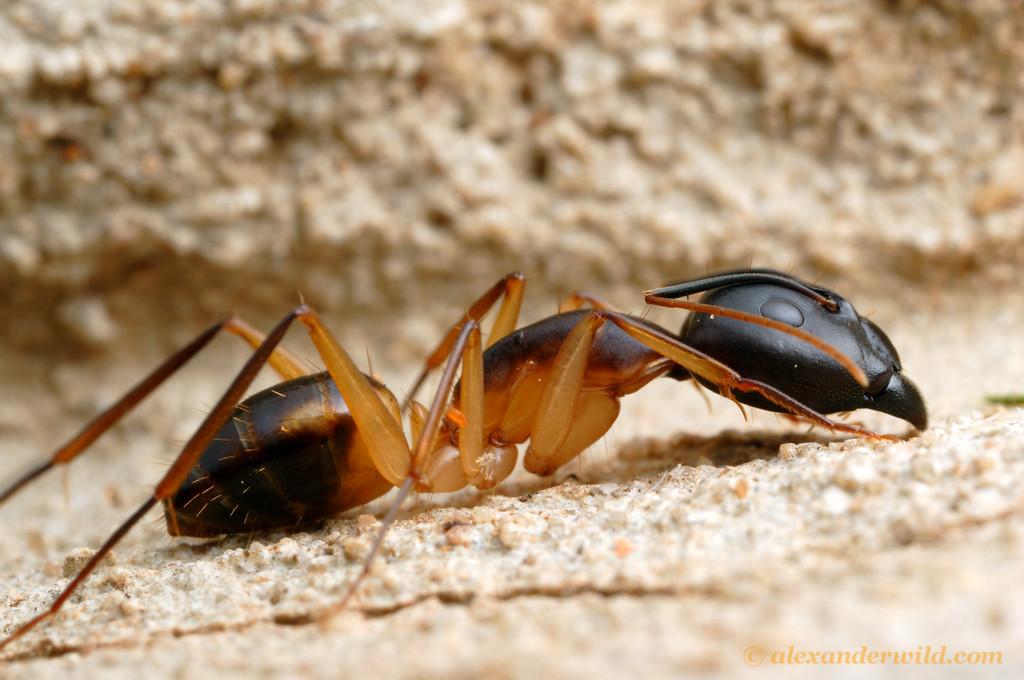 Camponotus maculatus  Durban, South Africa