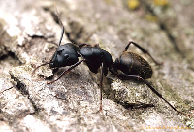 Camponotus pennsylvanicus, the eastern black carpenter ant.  Lawrence, Kansas, USA