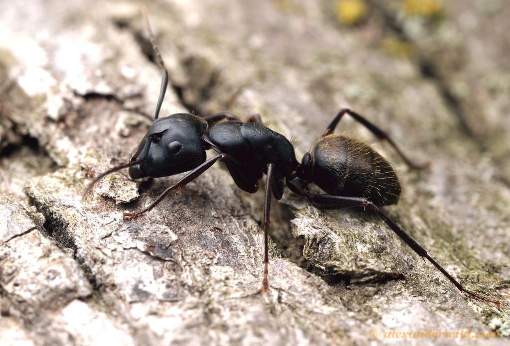Camponotus pennsylvanicus, the eastern black carpenter ant.  Lawrence, Kansas, USA