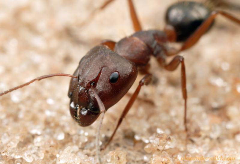 Camponotus punctulatus