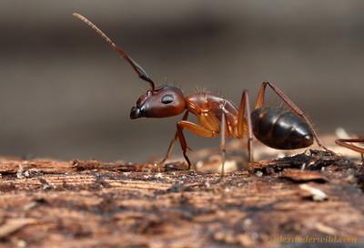 Camponotus tortuganus, major worker  Archbold Biological Station, Florida, USA