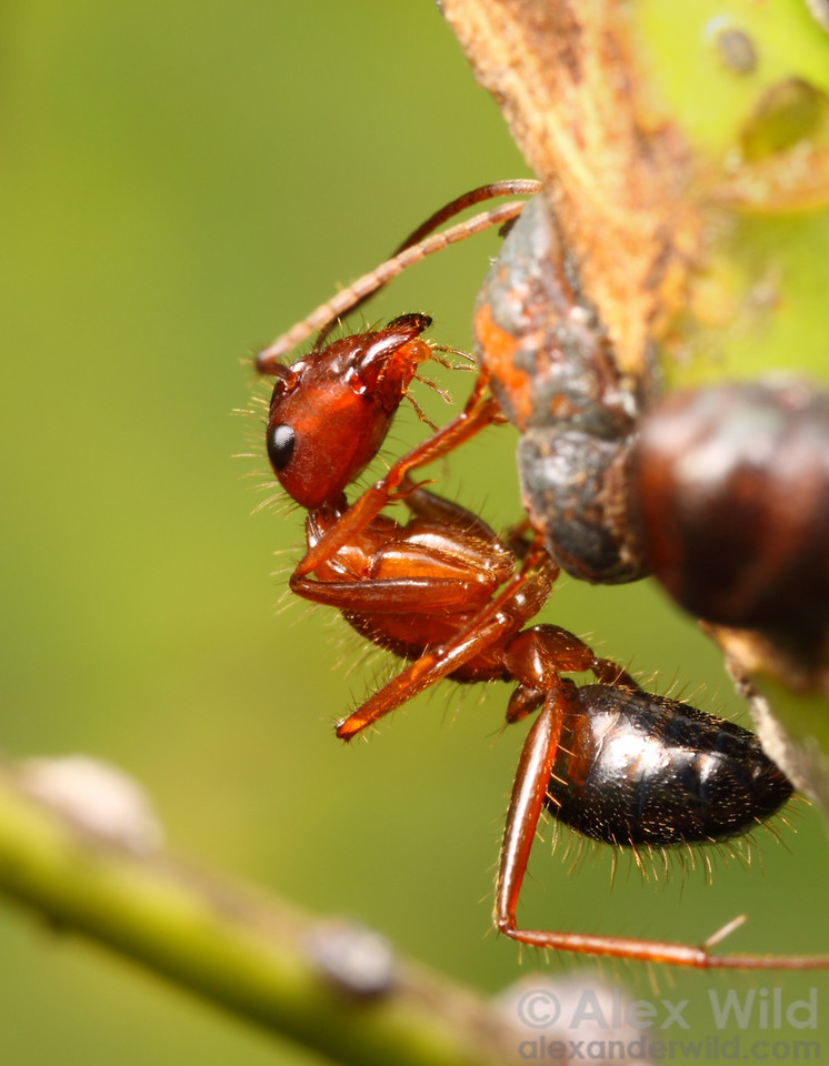 A minor worker of Camponotus floridanus tending scale insects.  Camponotus are more dependent on honeydew-producing insects than are most other ant species, and their guts contain highly specialized microbes that help the ants thrive on the carbohydrate-rich diet.  Archbold Biological Station, Florida