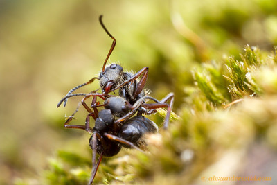 Camponotus textor workers from different colonies fight at a territorial boundary.  Icononzo, Tolima, Colombia