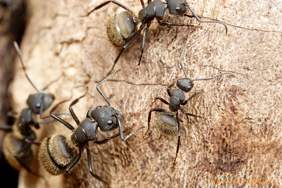 Camponotus mus.  Most species in the cosmopolitan ant genus Camponotus have workers of varying size and proportion in the nest.  Correa, Santa Fe, Argentina