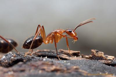 Camponotus tortuganus, minor worker  Archbold Biological Station, Florida, USA