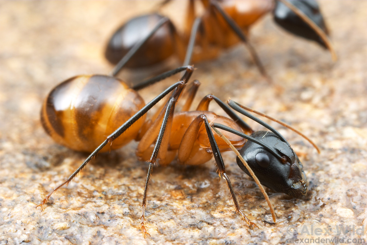 Camponotus ocreatus