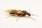 Camponotus texanus