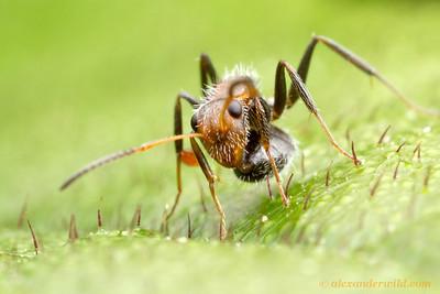 Camponotus (Myrmobrachys) planatus showing the gaster-tucked posture characteristic of its subgenus.  Armenia, Belize
