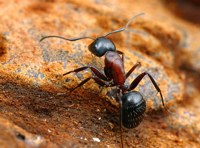 Camponotus noveboracensis  South Bristol, New York, USA