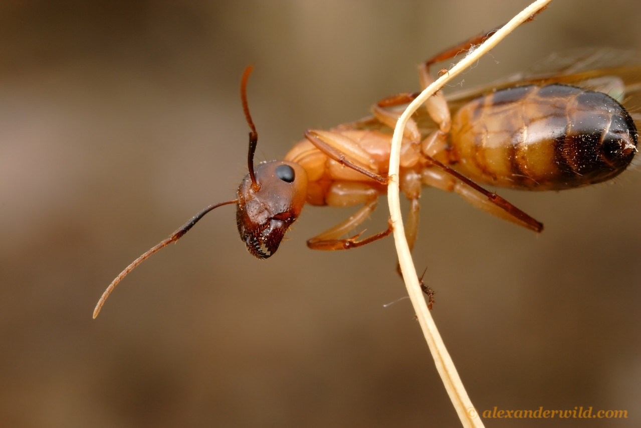 A young Camponotus festinatus queen scales a grass blade to launch herself on a nocturnal mating flight.  Tucson, Arizona, USA