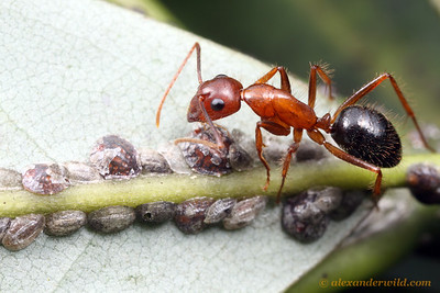 Camponotus floridanus tending scale insects.  Archbold Biological Station, Florida, USA