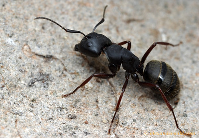 Camponotus modoc  Sagehen Creek, California, USA