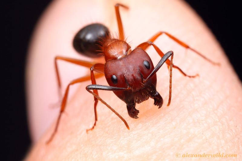 Camponotus floridanus