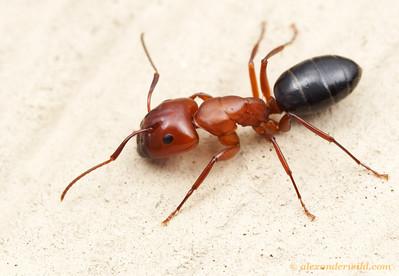 Camponotus sayi  Austin, Texas, USA