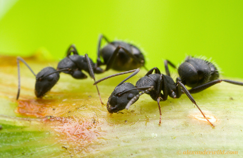 Camponotus sp.  Morretes, Paraná, Brazil