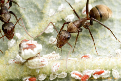 Camponotus rosariensis worker ants tending scale insects for honeydew.  Frías, Santiago de Estero, Argentina