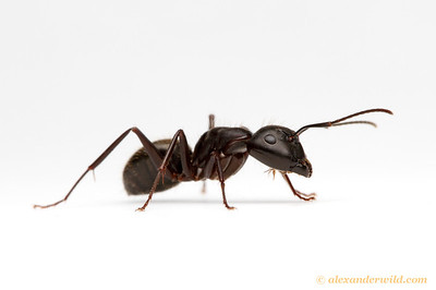 Camponotus pennsylvanicus, the eastern black carpenter ant.  Urbana, Illinois, USA