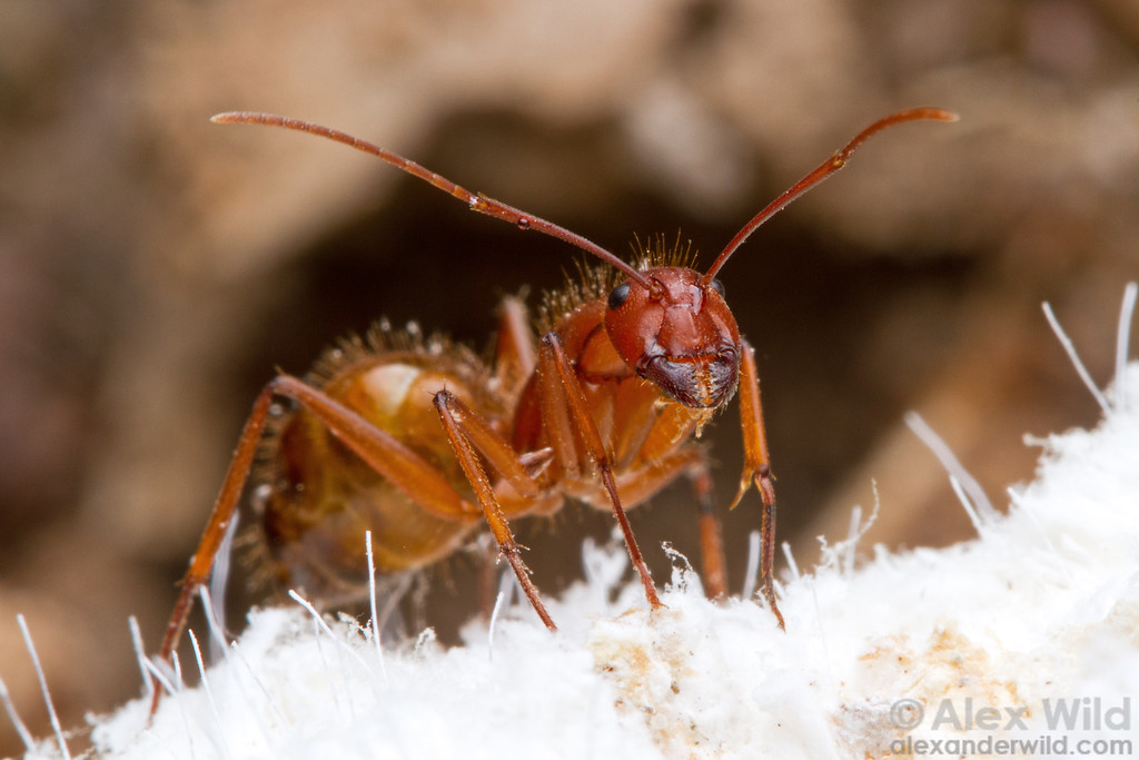 Camponotus brutus tends waxy scale insects for honeydew.  Entebbe, Uganda