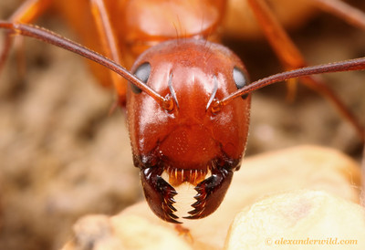 Close-up with a Camponotus castaneus minor worker.  Vermillion River Observatory, Illinois, USA