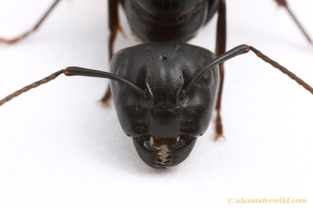 Camponotus pennsylvanicus, the eastern black carpenter ant, queen  South Bristol, New York, USA