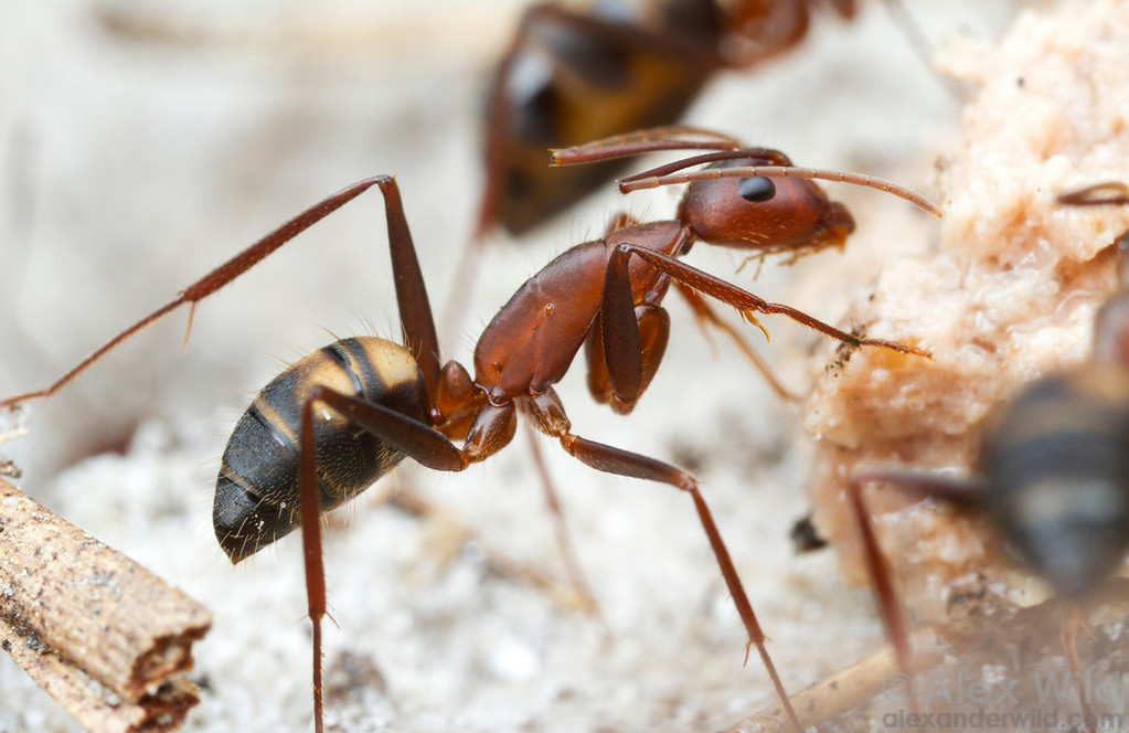 Camponotus socius is one of the largest ants in North America. The ant can be readily recognized by the light spots on the abdomen.  Orlando, Florida, USA
