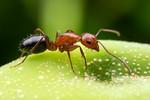 Camponotus decipiens