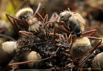 Camponotus (Myrmmobrachys) workers feed from a bird dropping. These ants house bacterial symbionts (Blochmannia) in their guts that allow them to process such nitrogen-rich resources.  Allur ...