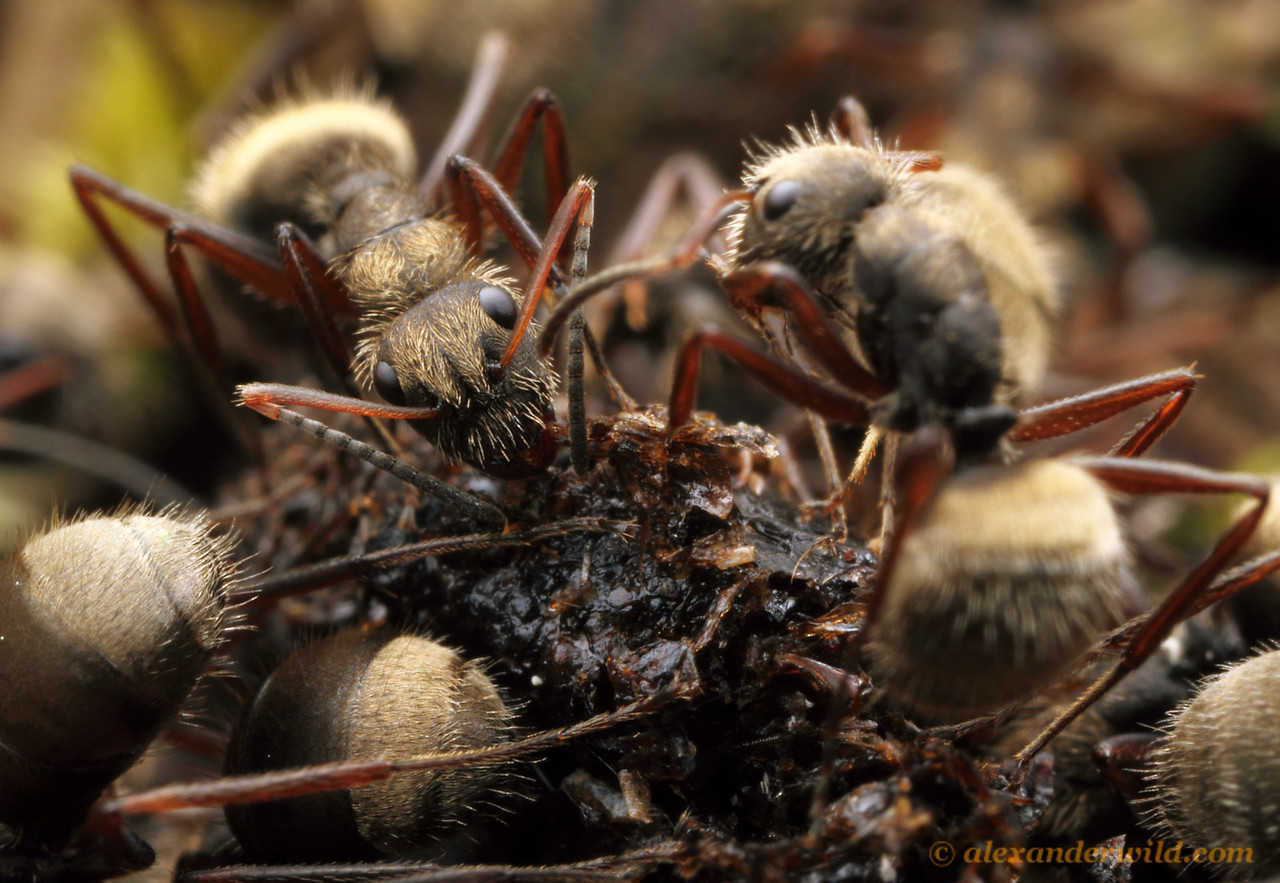 Camponotus (Myrmmobrachys) workers feed from a bird dropping. These ants house bacterial symbionts (Blochmannia) in their guts that allow them to process such nitrogen-rich resources.  Alluriquín, Pichincha, Ecuador
